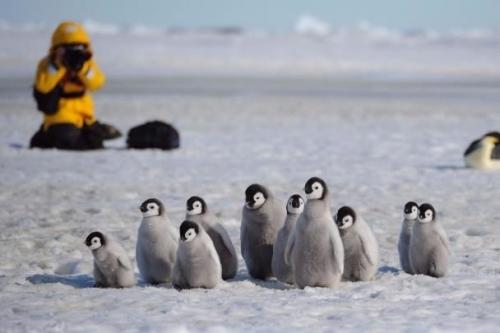 クォーク、南極で皇帝ペンギン観...